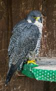 The peregrine falcon (falco peregrinus) on perch Stock Photos