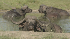 Water buffaloes Stock Footage