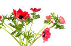 Stock Photo of red anemones