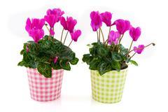 Pink cyclamen for interior Stock Photos