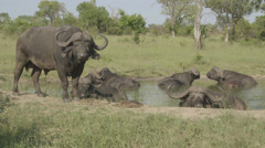Water buffalo at watering hole Stock Footage