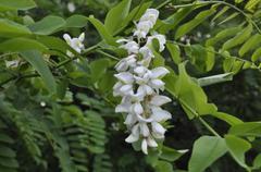 acacia - stock photo