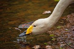 Drinking whooper swan portrait Stock Photos