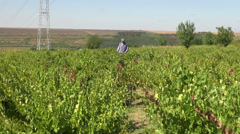 Farmer checking the wine grapes, organic farm, harvest, winery, vineyard Stock Footage