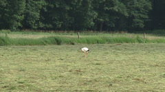 White stork (ciconia ciconia) forages in hayland Stock Footage
