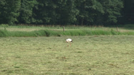 Stock Video Footage of White stork (ciconia ciconia) forages in hayland
