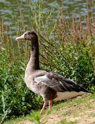A goose - stock photo