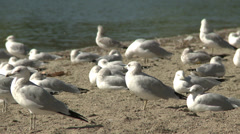 Stock Video Footage of seagulls on beach slow creep in