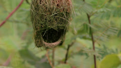 Baya weaver (Ploceus philippinus) nest - stock footage