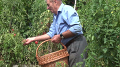 Farmer picking plum tomatoes, organic farm, vegetable garden, harvest Stock Footage
