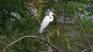 Stock Video Footage of Great Egret (Ardea alba)