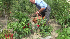 Farmer picking bell peppers, capsicum, sweet, organic farm, vegetable garden 1 - stock footage