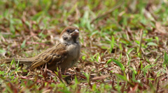 House Sparrow Stock Footage