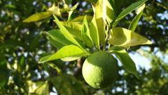 Unripe green orange on a branch Stock Footage