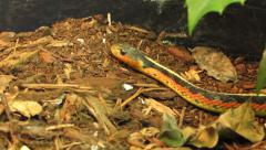 Eastern garter snake Stock Footage