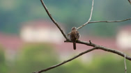 Stock Video Footage of Yellow Vented Bulbul  at 1120mm