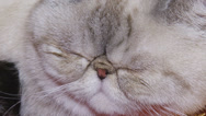 Stock Video Footage of fluffy cat face close up