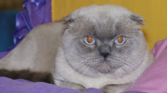 Stock Video Footage of purebred cat to cat show