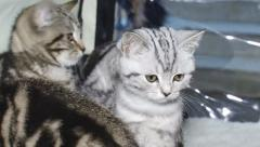 Purebred kittens for cat show Stock Footage