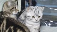 Stock Video Footage of purebred kittens for cat show