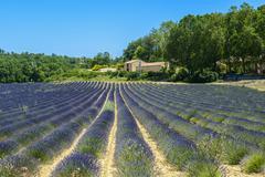 plateau de valensole (provence), lavender - stock photo