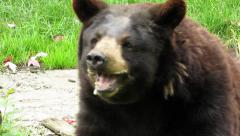 North American Black Bear foaming at the mouth Stock Footage