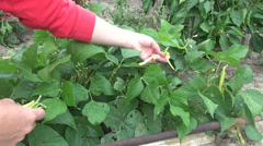 Picking green pods, beans, fresh string bean, snap bean, farm, vegetable garden - stock footage