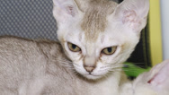 Stock Video Footage of kitten face close-up