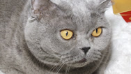 Stock Video Footage of funny cat face close up