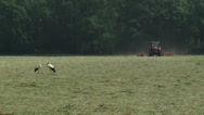 Stock Video Footage of Pair of white storks (ciconia ciconia) in hay field, tractor in background