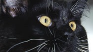 Stock Video Footage of cat face close up