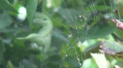 Spider web in a vineyard, cobweb, green vine leaf - stock footage