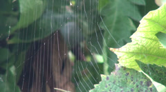 Insect trapped in a spider web in a vineyard, cobweb, green vine leaf - stock footage