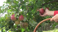 Stock Video Footage of Farmer picking apples, fruits, apple tree, organic orchard, farm, horticulture
