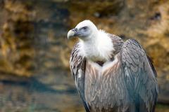 Griffon vulture (gyps fulvus) Stock Photos