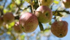 Static Shot: Close up of apples in a tree. - stock footage