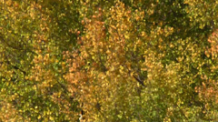Close up Of Aspens in Fall Stock Footage