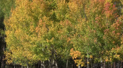 Aspens in Fall Stock Footage
