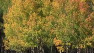 Stock Video Footage of Aspens in Fall