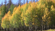 Stock Video Footage of Mountain Aspens in Fall