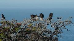 Turkey Vultures Stock Footage