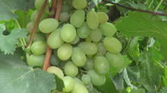 White wine grapes, delicious fruits, organic farm, vegan, harvest, vineyard Stock Footage