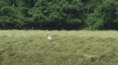 White stork (ciconia ciconia) forages in hay field between windrows Stock Footage
