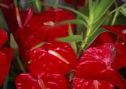 Stock Photo of Anthurium