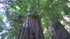 Coast Redwoods in California Stock Footage