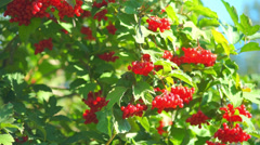 Guelder rose (Viburnum opulus) berries closeup Stock Footage