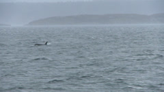Orca, Killer Whale, Whales Stock Footage