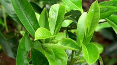 Young leaves & leaf bud of the tea tree Stock Footage