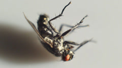Housefly dead Stock Footage