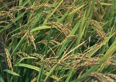 Rice Plant Stock Photos